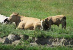 Uomo e bovino - alle origini del benessere animale