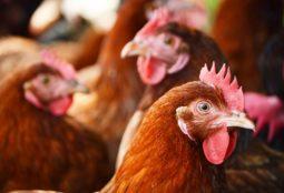 Cresce l'avicoltura italiana